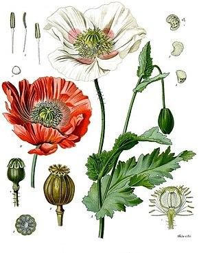 Papaver somnifer